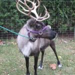 Reindeer & Exotic Animals for Sale in Ohio