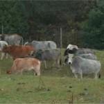 old zebu herd jpg - Copy