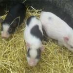 piggys1